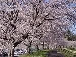 H31・4 桜2.JPG