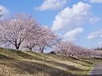 H31・4月 桜.JPG